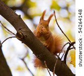 Red Euroasian Squirrel On The...