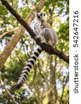 Small photo of Ringtail Lemur at primate rescue center near Plettenberg Bay, South Africa