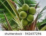 coconuts growing on a coconut... | Shutterstock . vector #542657296