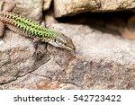 Sicilian Wall Lizard  Podarcis...