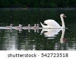 Mute Swan  Cygnus Olor  Czech...