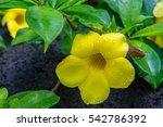 Small photo of Yellow allamanda flower in Honolulu, Hawaii
