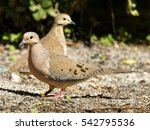 Pair Of Mourning Doves On The...