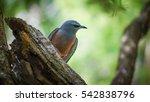 Small photo of White-browed Woodswallow (Scientific Name: Artamus superciliosus), Australia. Bird skulk behind the tree.