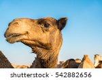 Camel Face. Camel Head....