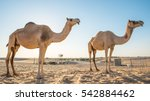 two camels silhouette  camels... | Shutterstock . vector #542884462