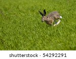 Stock photo wild hare running over a green field 54292291