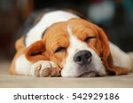 Beagle Dog Sleeping And Take...