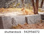 Lioness Resting In Zoological...