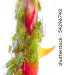 green aphids on rose footstalk  ... | Shutterstock . vector #54296743