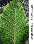 Small photo of alocasia macrorrhiza - a tropical flowering plant with huge upright leaves (elephant ear)