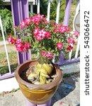 Small photo of Adenium obesum, Desert Rose, Impala Lily, Mock Azalea
