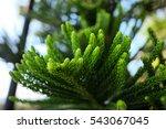 Araucaria Heterophylla  Norfolk ...