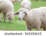 sheep in farm on grass.