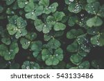 Closeup Of Leaf Clovers With...