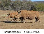 Small photo of Mother and child white rhinos. They are beautiful placid animals that are mercilessly hunted by poachers who wish to acquire horns.