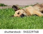 stray dog lies on the grass in... | Shutterstock . vector #543229768