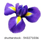 Iris  Flower. White Isolated...
