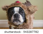 boston terrier dog in reindeer... | Shutterstock . vector #543287782