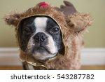 boston terrier dog in reindeer... | Shutterstock . vector #543287782