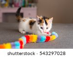 Stock photo calico kitten with toy 543297028