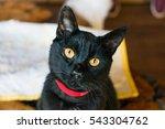 Black Cat Head Tilt