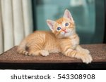 Stock photo orange kitten posing 543308908