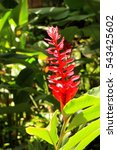 Small photo of Red ginger flower(Alpinia purpured)