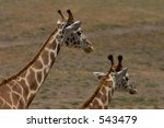 Two Giraffes, one small, one large - stock photo