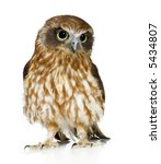 Stock photo new zealand owl in front of a white background 5434807