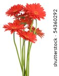 Stock photo gerber flowers isolated on white background 54360292