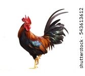 Rooster isolated on white...