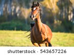 Horse Galloping In Horse Farm