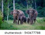 Family Of Wild Elephants In...