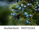 Bunch Of Juniper Berries On A...
