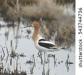 Small photo of American Avocet