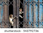 Two Monkeys Climbing On A Old...