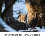 a lynx child hiding behind a... | Shutterstock . vector #543795886