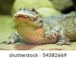 Chinese Alligator  Alligator...