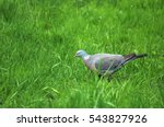 Common Wood Pigeon  Columba...