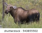 Small photo of Adorable Alaskan Moose