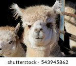 Humorous Alpaca With Curly Nos...