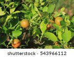 orange tree | Shutterstock . vector #543966112
