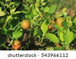 orange tree | Shutterstock . vector #543966112