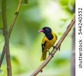 Small photo of Black-hooded oriole in Minneriya national park, Sri Lanka ; specie Oriolus xanthornus family of Oriolidae