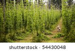 Hops grow in large plantations, with sheep hiding in the rows - stock photo
