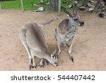 kangaroos in brisbane ... | Shutterstock . vector #544407442