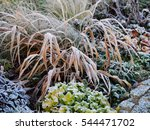 Winter Shot Of Hakonechloa...