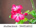 Small photo of Pink Addendum flower with dark background.