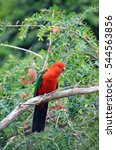 Small photo of Australian male red and green King parrot, Alisterus scapularis, perched in a tree, Pebbly Beach, Murramarang National Park, New South wales south coast